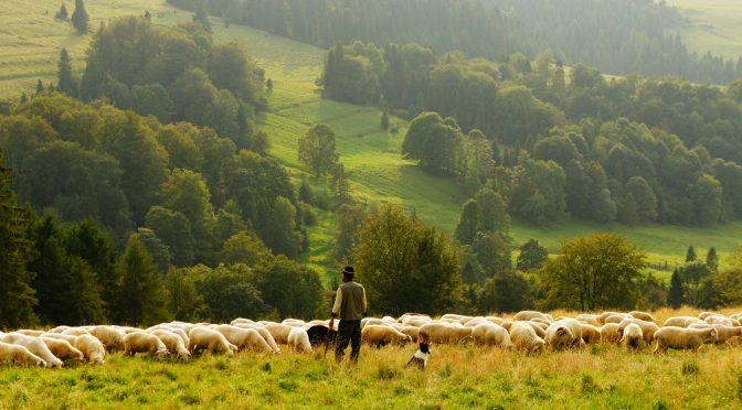 Why do you wish to raise sheep?