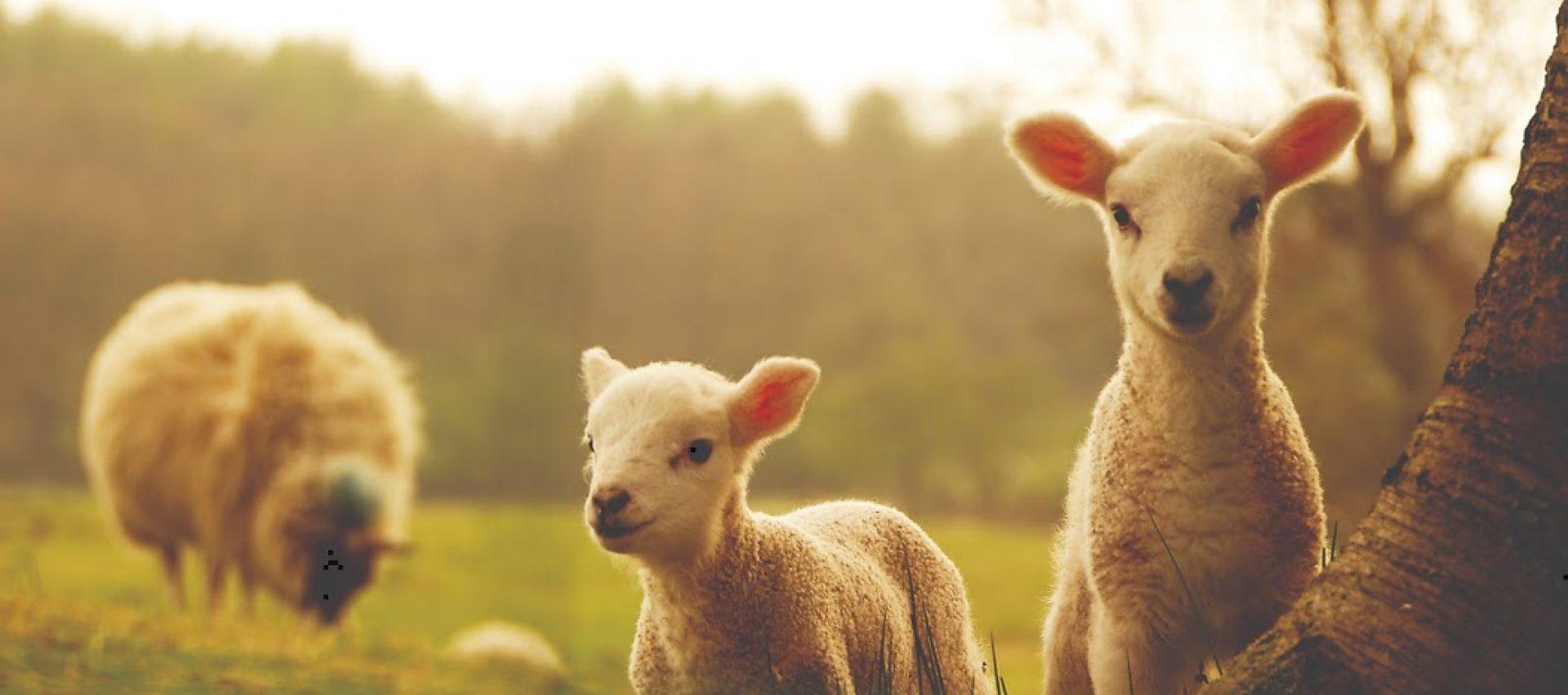 Lambs die?