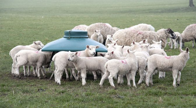Profit Machine: sheep farming