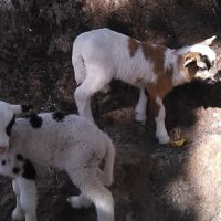 For Sale Two babies Sheep
