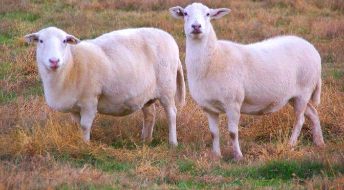 Katahdin Sheep Developed