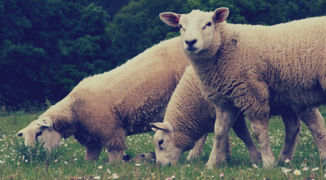 Treatment of Sheep and lambs
