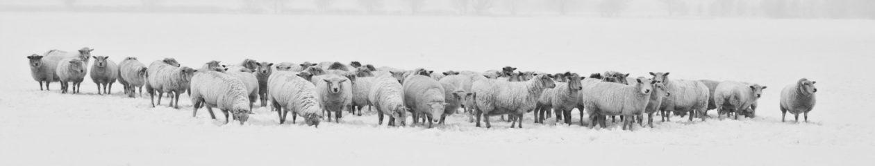 Sheep House: