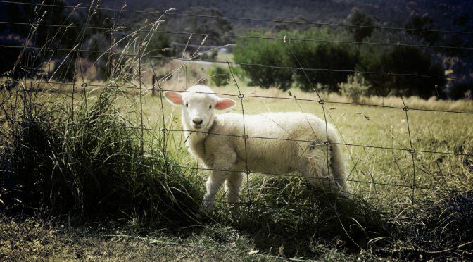 Sheep Blue Tongue